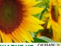Шаркс (A-F) -Caussade-Semences, ранний гибрид подсолнечника