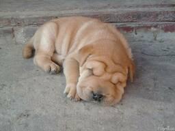 Шарпейчик щенок