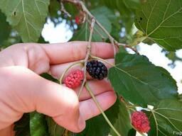 Шелковица чёрная семена (10штук) для саженцев тутовое дерево