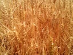 Пшеница озимая сорт Гарантия Одесская