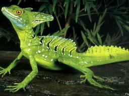 Шлемоносный василиск зеленый (Basiliscus plumifrons)