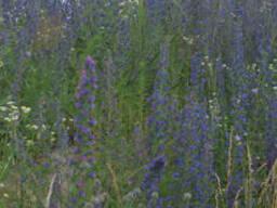 Синяк обыкновенный (медоносное растение), семена