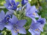 Синюха, корінь. - фото 1