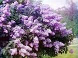 Сирень обыкновенная,цвет.Бузок звичайний,цвіт.