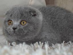 Скоттиш Фолд, голубая(котенок)