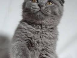 Скоттиш Фолд , голубой мега плюш(котенок)