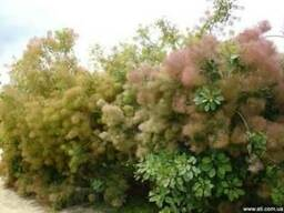 Скумпия кожевенная (коггирия ), париковое дерево — саженцы