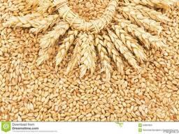 Куплю Пшеницу Луцк Украина