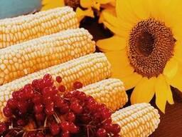 Сладкая кукуруза в початках