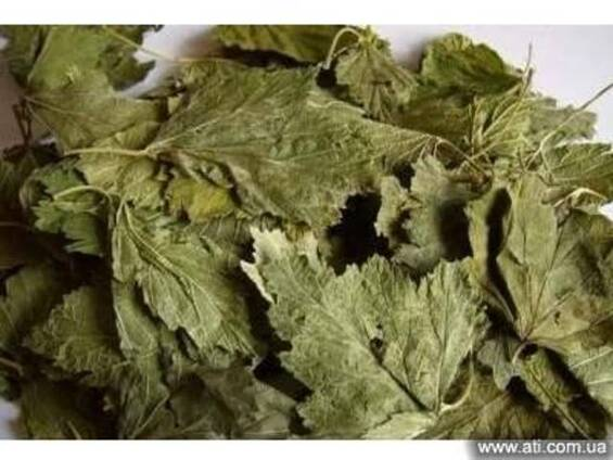 Смородина лист. Листья черной смородины.