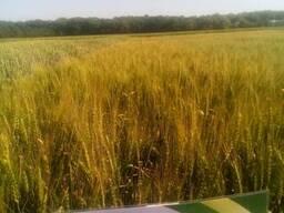 Смуглянка пшеница озимая семена