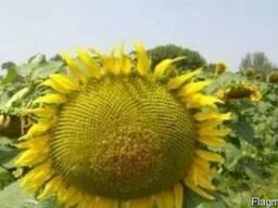Соняшник Любаш