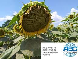 Семена под гранстар НС Сумо 556 высокоурожайный 42ц. Премиум