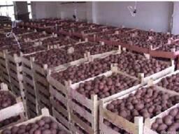 Холодильные камеры для хранения картофеля