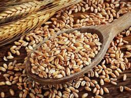 Спельта органічна для виготовлення борошна (мішок 25 кг. )