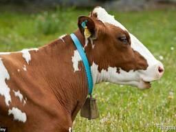 Спермопродукция быков-производителей