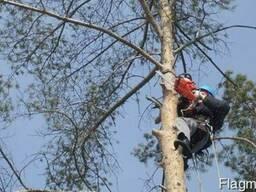 Спил и вывоз деревьев, кустарников - фото 1