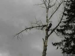 Спилить дерево; Срезать; Срубить; Выкорчевать; Распилить