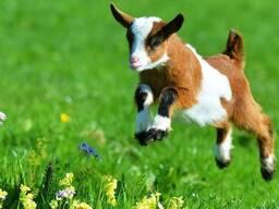Сухое молоко сыворотка для маленьких козлят поросят телят