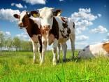 Сухое молоко заменитель цельного для телят и поросят - фото 1
