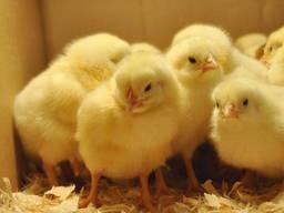 Цыплята бройлера бройлера