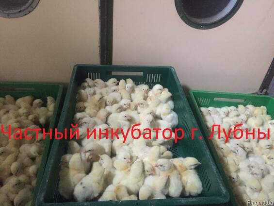 Суточные цыплята бройлера КОББ 500, РОС 308
