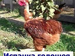 Суточные цыплята Испанка голошея. сезон 2019г!