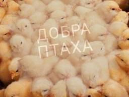 Суточные цыплята Кобб-500