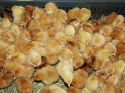 Суточные цыплята кур Фокси Чик
