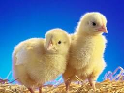 Суточные цыплята курчата бройлер КОББ 500 (ОПТ)