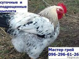 Суточные цыплята Мастер грей. сезон 2019, Одесса