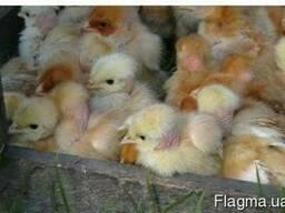 Суточные цыплята мясо-яичные Мастер-Грей, Ред-Бро, Испанка