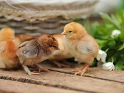Суточные цыплята мясо-яичных и яичных пород