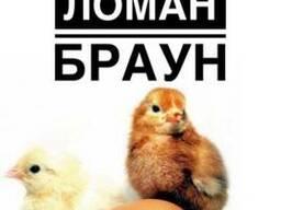 Суточные цыплята несушки Ломан Браун