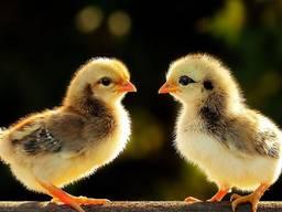 Суточные цыплята породы Мастер Грей