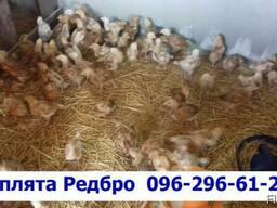 Суточные цыплята породы Редбро. сезон 2019, Одесса