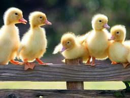 Суточные цыплята, утята, гусята!
