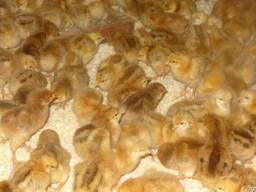 Суточные и подрощенные цыплята Редбро ( 4кг, до 300яиц)