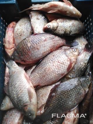 Свежая живая рыба
