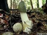 Свежий,лесной гриб веселка(настойка,сушенный) - фото 1