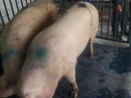 Свиньи , свиноматки с бесплатной доставкой
