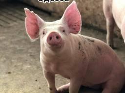 Куплю свиноматок, хряков , выбраковок Украина