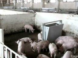 Свинина, Свиные туши