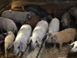 Свинки на племя породы Венгерская Мангалица 1, 5 -2 месяца
