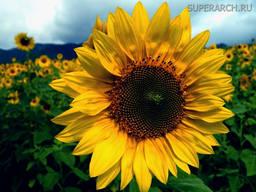 Насіння соняшника НА Сурінда
