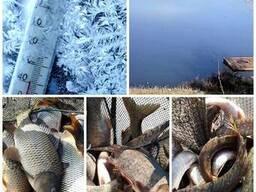 Товарнa риба: Товстолоб, Короп.