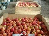 Товарне Яблуко зимових сортів - фото 8