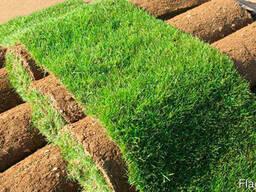 Трава рулонная – газон выносливый