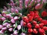Тюльпан Польща Якість ( всі кольори) - фото 1