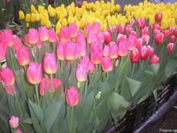 Тюльпаны к 8 Марта. Опт, розница